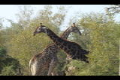 Giraffes necking