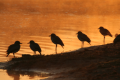 Blacksmith lapwings at sunrise